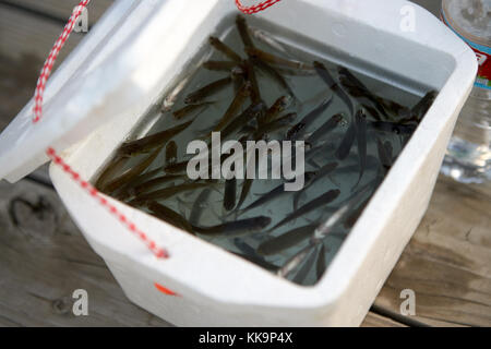Small minnows swimming in a polystyrene box on wooden planking ready to use as bait for freshwater fishing - Stock Photo