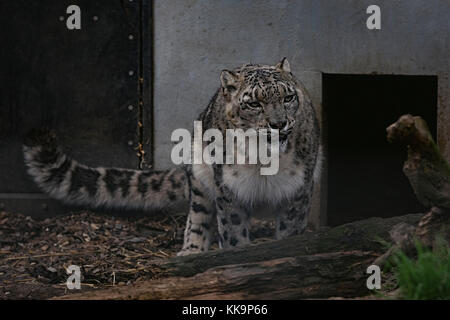 Snow leopard in Captivity (Cat Preservation Society, Welwyn, UK) - Stock Photo