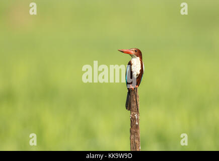 White-throated or White-breasted Kingfisher - Stock Photo