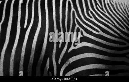 Detail of Grevy's Zebra (Equus Grevyi) also known as the Imperial Zebra, Largest of the wild horse species. Less - Stock Photo