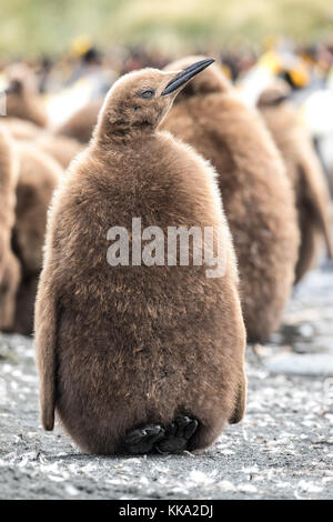 King penguin chick in creche at Gold Harbour, South Georgia Island - Stock Photo