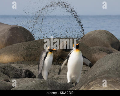 Resting elephant seal flips sand into the air as two king penguins walk by on beach at Gold Harbour, South Georgia - Stock Photo