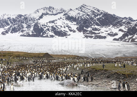 Elephant seals and king penguins at St Andrew's Bay, South Georgia Island - Stock Photo