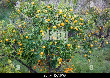 Orange orchard with fruits growing in Biniaraix Village near Soller. Soller Valley, Majorca, Spain - Stock Photo