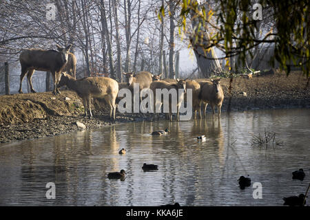 Milu deer gathered around a pond with ducks - Stock Photo