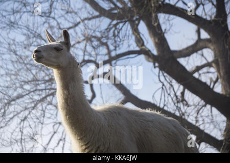 White lama with branches from a large tree in the background - Stock Photo