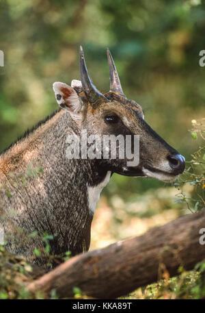 male Nilgai or Blue bull, (Boselaphus tragocamelus), Keoladeo Ghana National Park, Bharatpur, Rajasthan, India - Stock Photo