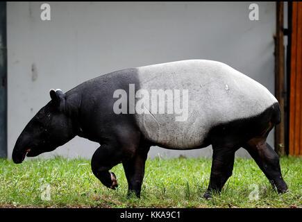 A Tapir is seen at the zoo in Kuala Lumpur, July 24, 2017. - Stock Photo