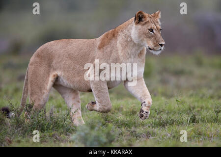Lioness (Lion, Panthera leo) running, Addo Elephant National Park, South Africa, Africa - Stock Photo