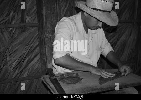 Tobacco farmer rolling cigar leaves