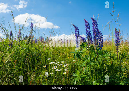 Large-leaved lupin (Lupinus polyphyllus), blooming in meadow, nature reserve Lange Rhön, biosphere reserve Rhön, - Stock Photo