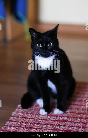 A black and white domestic cat sits on a rug at home - Stock Photo