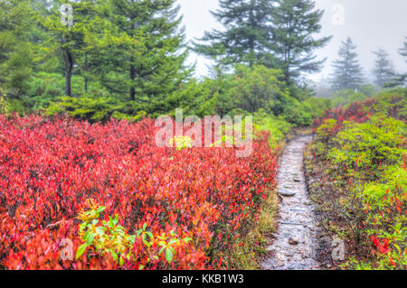 Many colorful red blueberry bushes in autumn fall with dirt road trail path wet by green pine tree forest in West - Stock Photo