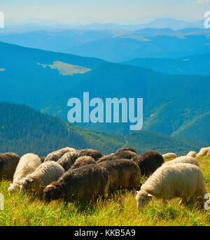 Herd of sheeps grazing  on top of mountains in - Stock Photo
