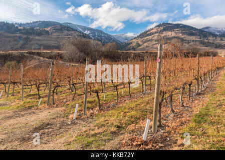 Rows of dormant grapevines in vineyard with snow covered mountains in background in late autumn - Stock Photo
