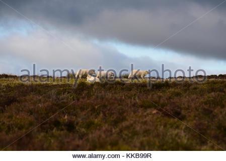 Winter sheep - Stock Photo