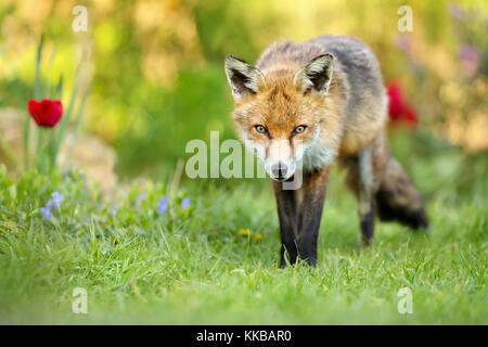 Close up of red fox standing on the grass in the garden with spring flowers, UK. - Stock Photo