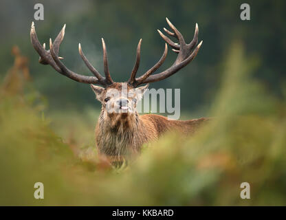 Close up of a red deer during the root sticking the tongue out - Stock Photo