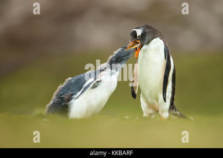 Isolated Adult gentoo penguin feeding a young molting chick in the Falkland islands - Stock Photo