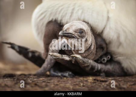 Young king penguin chick laying under the parent's feathers and seeking for warmth and comfort - Stock Photo