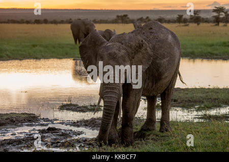 asingle young male elephant playing in a shallow waterhole at dusk, iso1600, Laikipia Kenya Africa - Stock Photo