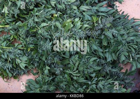 indica-sativa hybrid, trichomes, colas, cannabis plant, marijuana plant, medical marijuana, alternative medicine, - Stock Photo