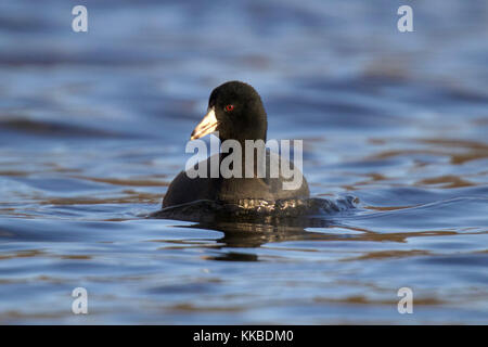 An American Coot Fulica americana swimming on a blue lake - Stock Photo