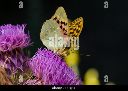 Argynnis pandora, the cardinal, is a butterfly of the Nymphalidae family - Stock Photo