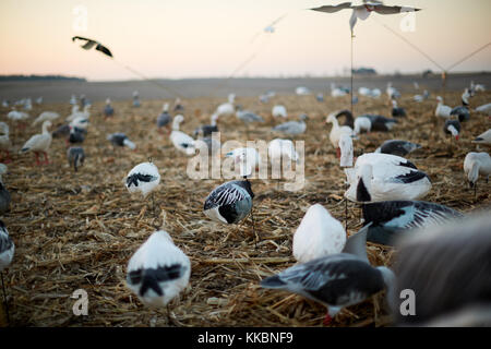 Decoy ducks in a wetland marsh during a waterfowl hunt to attract the migrating birds within reach of the hunters - Stock Photo