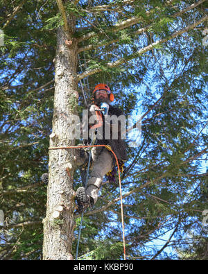 Professional arborist climbing a large hemlock tree and cutting off branches. - Stock Photo