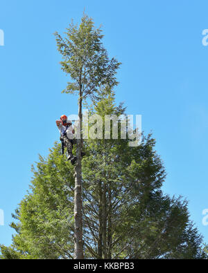 Professional arborist climbing a tall hemlock tree and cutting off the top. - Stock Photo