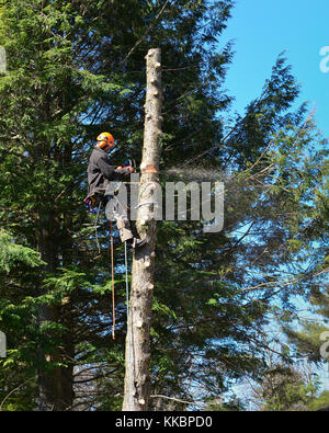 Professional arborist climbing a tall hemlock tree and cutting the bare trunk into sections. - Stock Photo