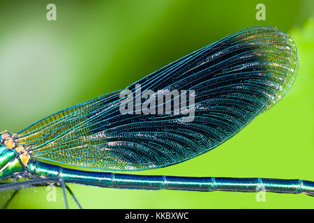 blue wings dragonfly macro close up - Stock Photo