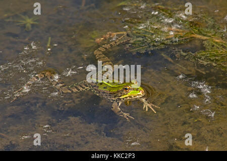 Frog swimming in the pond with legs wide open, view from above Anura - Stock Photo