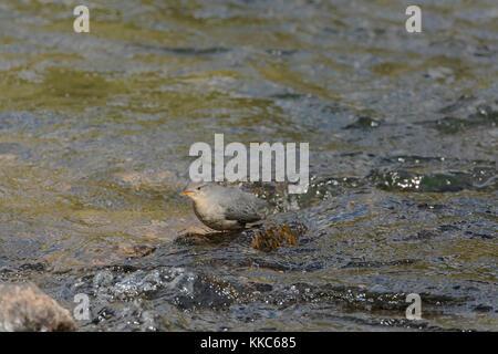 American Dipper (Cinclus mexicanus) feeding in the Yellowstone River near LeHardy's Rapids, Yellowstone National - Stock Photo