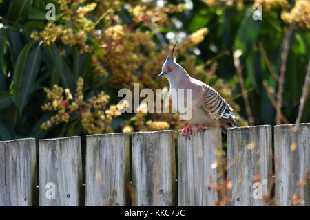 An Australian Crested Pigeon on a wooden fence - Stock Photo