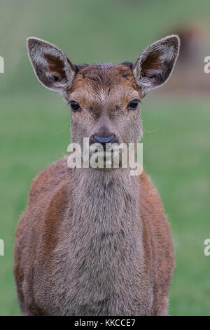 An upright close up portrait of a red deer fawn looking straight forward - Stock Photo
