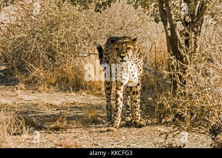 A cheetah standing up and observing (Acinonyx jubatus), Namibia. - Stock Photo