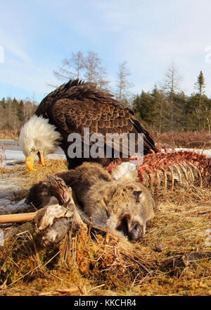 A Bald Eagle feeding on a White-tailed Deer. - Stock Photo