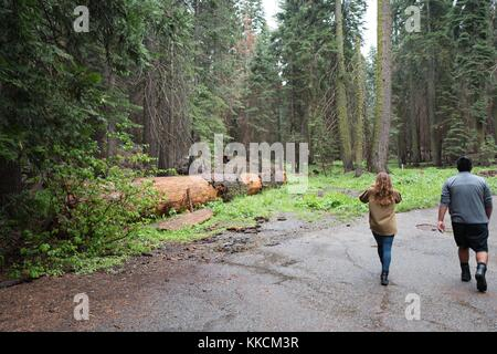 On a rainy day in Yosemite National Park, a female tourist uses a smartphone to photograph grazing deer near a fallen - Stock Photo