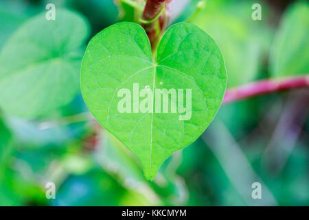 Fresh Green Heart-Shaped Leaf in Tropical Asia. - Stock Photo