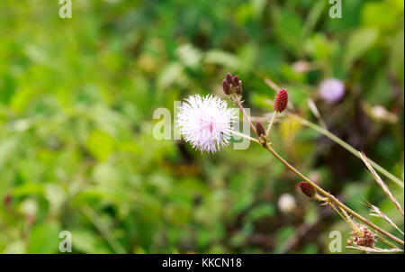 Mimosa Pudica, Also Called Sensitive Plant, Touch-Me-Not, or Shy Plant with Blurry Background. - Stock Photo