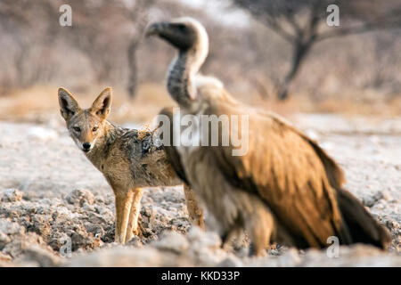 Black-backed Jackal (Canis mesomelas) and White-backed Vulture (Gyps africanus) - Onkolo Hide, Onguma Game Reserve, - Stock Photo