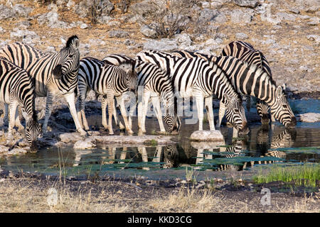 Burchell's zebra drinking at Waterhole - Tamboti Luxury Campsite, Onguma Game Reserve, Namibia, Africa - Stock Photo