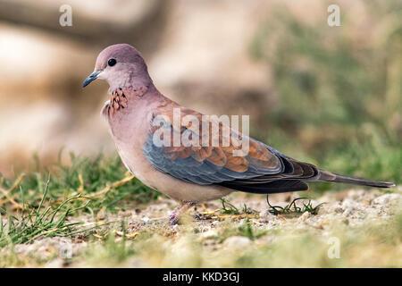 Laughing dove (Spilopelia senegalensis) - Onkolo Hide, Onguma Game Reserve, Namibia, Africa - Stock Photo