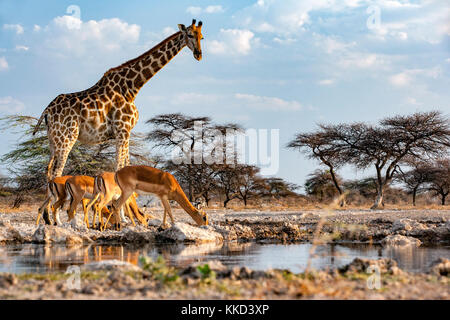 Giraffe with impala at Onkolo Hide, Onguma Game Reserve, Namibia, Africa - Stock Photo