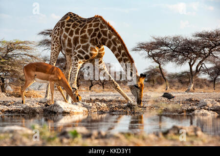 Giraffe and impala drinking at waterhole - Onkolo Hide, Onguma Game Reserve, Namibia, Africa - Stock Photo