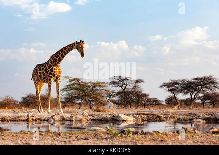 Giraffe at Onkolo Hide, Onguma Game Reserve, Namibia, Africa - Stock Photo