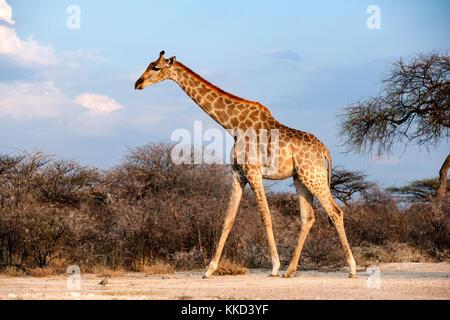 Giraffe at Onkolo Hide, Onguma Game Reserve, Namibia, Africa - Stock Photo