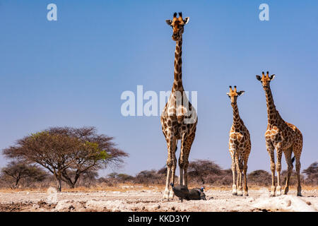 Group of Giraffe at Onkolo Hide, Onguma Game Reserve, Namibia, Africa - Stock Photo
